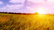 Golden sunset over swaying crops video