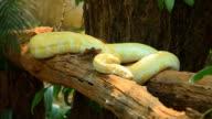 Golden Thai Python video
