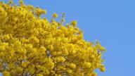 Golden tree in summer video