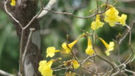 golden trumpet flowers at the senescence stage video