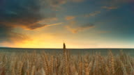 HD DOLLY: Golden Wheat At Sunset video