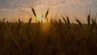 CS Golden wheat at sunset video