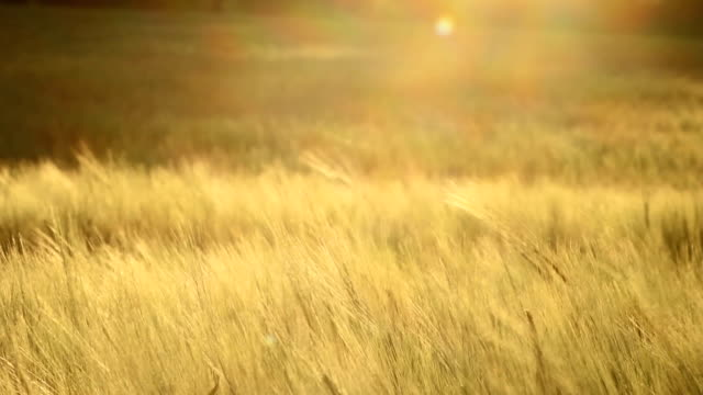 Golden Wheat Blowing In The Breeze video