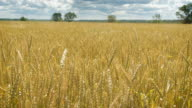 Golden wheat field and cloudy day video