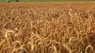 Golden wheat field and sun video