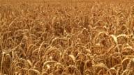 Golden wheat field before harvest video