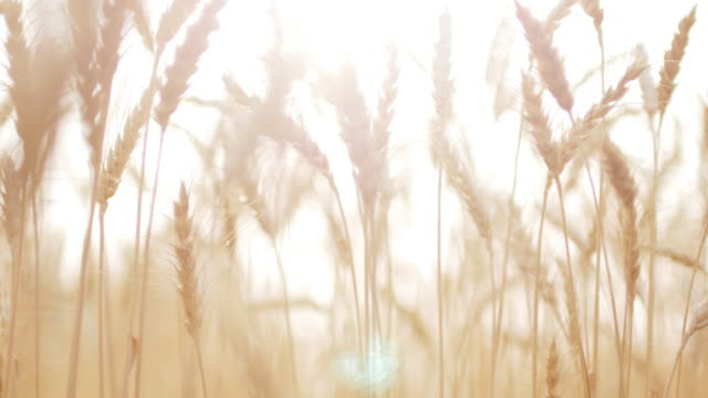 Golden wheat field in the wind , close-up , 4k(UHD) video