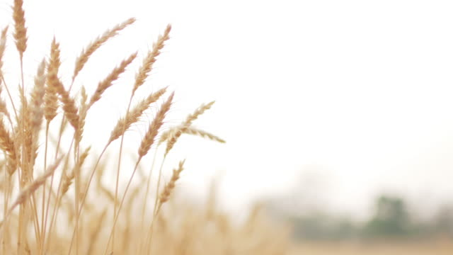 Golden wheat field in the wind with space for design , close-up , 4k(UHD) video