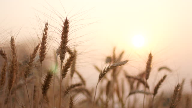 Golden wheat field movement in the wind at sunset time , close-up , 4k(UHD) video
