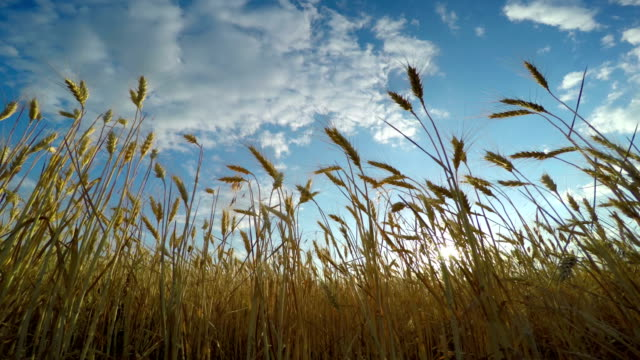 Golden Wheat Field video