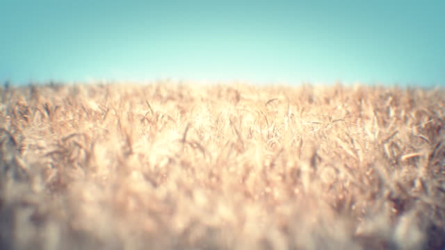 Golden wheat field (loopable) video