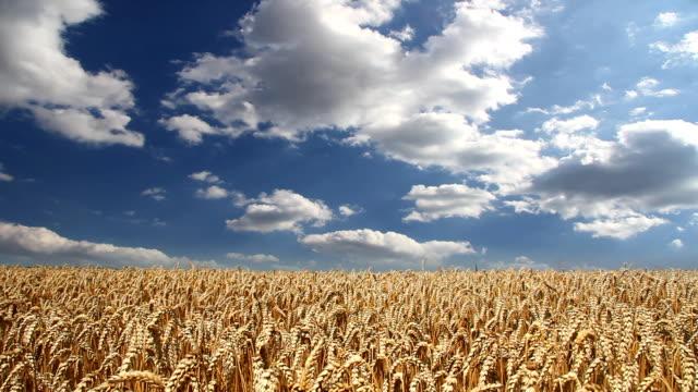 Golden wheat fields, timelapse video