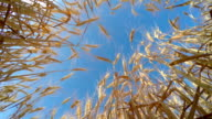 Golden Wheat Ready to be Harvested video