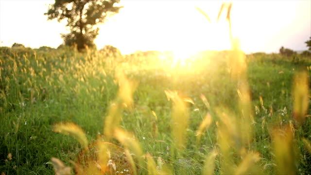 Golden Wheat video