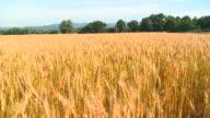 HD CRANE: Golden wheat video
