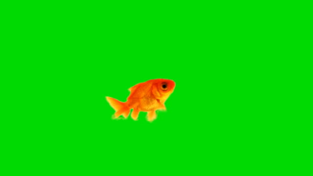 Goldfish against chroma green screen video