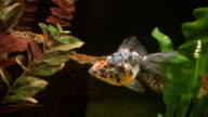 Goldfish, Calico Ryukin, Carassius auratus, HD video