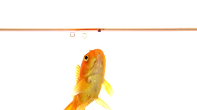 Goldfish catches food - slow motion video