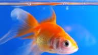 SLOW-MO: Goldfish close up video