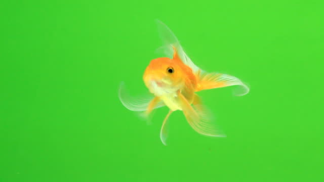Goldfish on green screen video