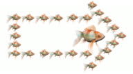 Goldfish Surrounded by an Arrow of Goldfishes (Loops) video
