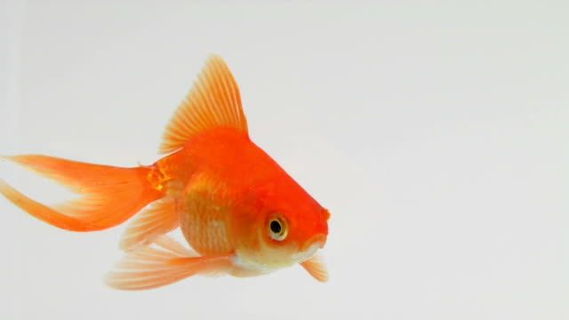 Goldfish swimming in a  fish tank video