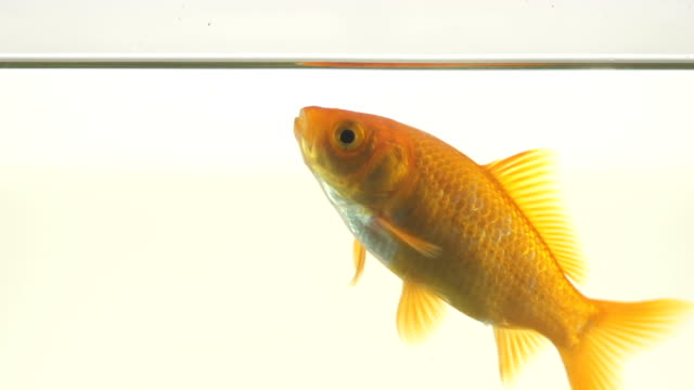 Goldfish Swimming Up The Surface To Drink Water video