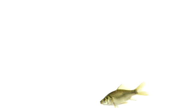 Goldfish swimming video