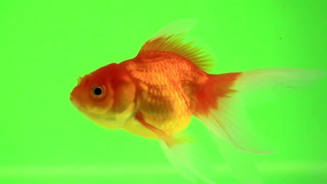Goldfish talk on green screen video
