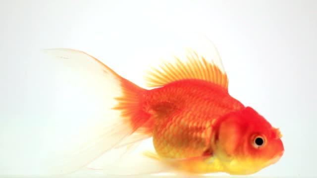 Goldfish talk on white background video