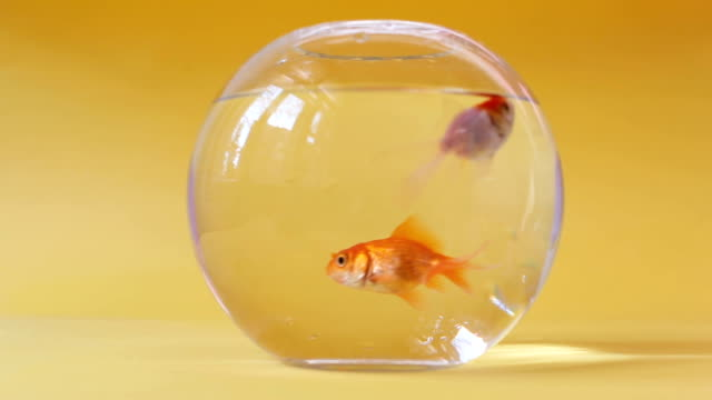 Goldfishes in fish bowl on yellow pastel background video