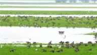 Goose in Netherlands water delta video