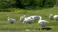 Goose near Water video