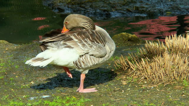 Goose standing on one leg near a creek and cleans its feathers video