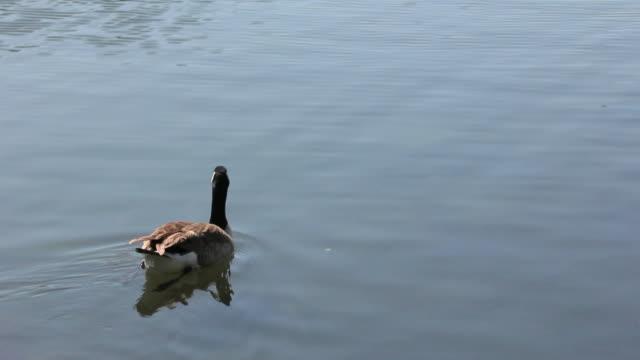 Goose Swim (HD) video