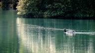 Goose Swims Across Sunny Lake video