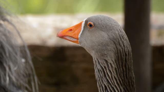 Goose with orange beak looking around video
