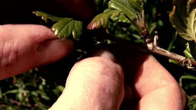Gooseberry being picked off bush video