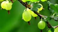 Gooseberry berries plant video