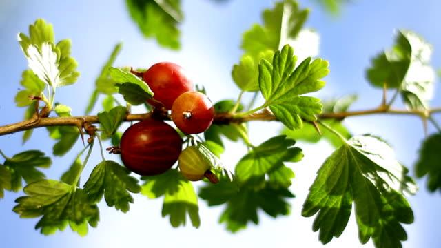 Gooseberry bush. Close-up video