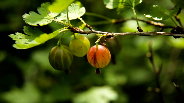 Gooseberry fruit on the branch in the garden video