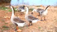 Gooses video
