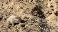 Gopher in Search of Food video
