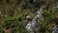 Goral,Chiangdao Wildlife sanctuary,Thailand video