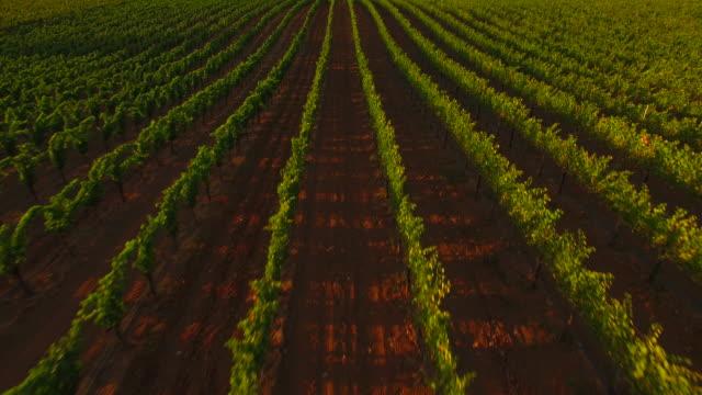 Gorgeous Vineyard at Sunset video