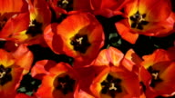 CLOSE UP: Gorgeous wide opened red blooming tulips swaying in gentle spring wind video