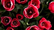 CLOSE UP: Gorgeous wide opened rose blooming tulip bulbs growing on flower field video
