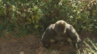Gorilla charging video