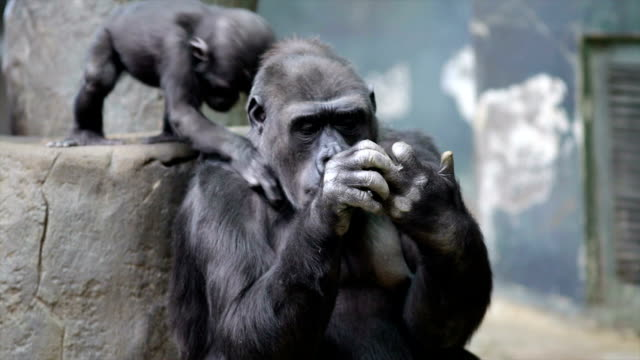 A gorilla mother with her baby. video