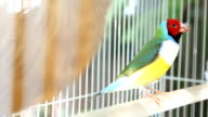 Gouldian finch bird video